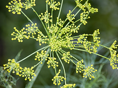 Dill; photo by Andy Ciordia